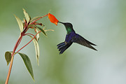 Rain Forest Macaws Prints - Violet-crowned Hummingbird feeding on Gloxinia Flower Print by Juan Carlos Vindas