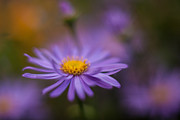 Daisy Prints - Violet Daisy Dreams Print by Mike Reid