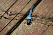 Dragonfly Photos - Violet Dancer on a Great Blue Skimmer by Susan Isakson
