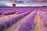 Lavender Framed Prints - Violet Dreams Framed Print by Evgeni Dinev