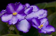 Nature Photo Photos - Violet Dreams by William Jobes