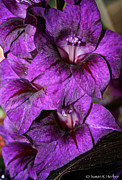 Minnesota Grown Photo Prints - Violet Glads Print by Susan Herber