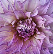Mandala Photos - Violet ManDahlia by JoAnn SkyWatcher