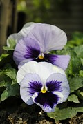 Violet Posters - Violet pansies flower Poster by Sumit Mehndiratta