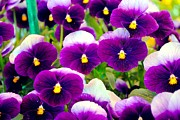 Violet Framed Prints - Violet Pansies Framed Print by Sumit Mehndiratta