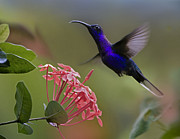 Sabre Prints - Violet Sabre Wing Male Hummingbird Print by Tim Fitzharris