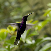 Trochilidae Photo Acrylic Prints - Violet Sabrewing at Cielito Sur Acrylic Print by Heiko Koehrer-Wagner