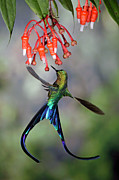 Feeding Hummingbird Framed Prints - Violet-tailed Sylph Aglaiocercus Framed Print by Michael & Patricia Fogden