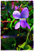 Violet With Dew Print by Judi Bagwell