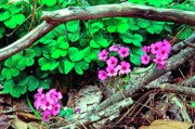 Sorrel Prints - Violet Wood Sorrel Print by Thomas R Fletcher