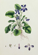 Stalk Paintings - Violets by English School