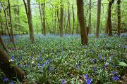 Spring Floors Posters - Violets In Forest Poster by John Short