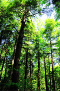 Hemlock Prints - Virgin Hemlock Forest Cathedral State Park Print by Thomas R Fletcher