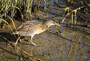 Wildlife Genre Prints - Virginia Rail Out In The Open Print by Roena King