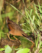 Virginia Photos - Virginia Rail by Randall Ingalls