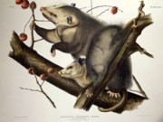 Wild Life Drawings Prints - Virginian Opossum Print by John James Audubon