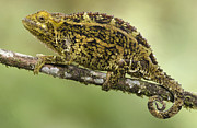 Flap Prints - Virunga Chameleon, Parc National Des Print by Gerry Ellis