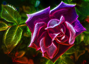Purple Rose Framed Prints - Visions From A Rose Framed Print by Bill Tiepelman