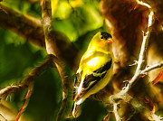 Spinus Tristis Prints - Visions of a Male Goldfinch Print by Bill Tiepelman
