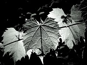 Grape Leaves Photos - Visions of Grape Leaves by Beth Akerman