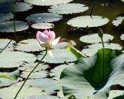 Lilly Pond Photos - Visit to Lilly Pond by David Lane