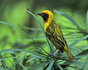 Sparrow Prints - Vitelline Masked Weaver Print by Tony Beck