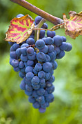 Blue Grapes Photos - Vitis by Heiko Koehrer-Wagner