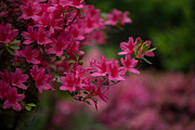 Rhododendron Photos - Vivid Group by Mike Reid