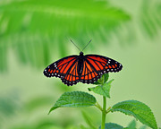 Insecta Art - Vivid Viceroy by Al Powell Photography USA