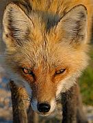 Red Fox Framed Prints - Vixen Framed Print by William Jobes