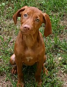 Vizsla Art - Vizsla Puppy by Vincent Duis