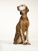 Vizsla Art - Vizsla Sitting And Looking Away by Ryan McVay