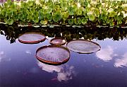 Waterlilies Art - Voices In The Sky by Jan Amiss Photography