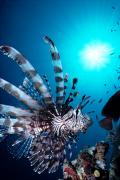 Lionfish Framed Prints - Volitan Lionfish Framed Print by Steve Rosenberg - Printscapes