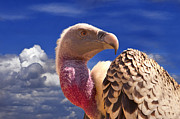 Birds Photos - Vulture by Alessandro Matarazzo