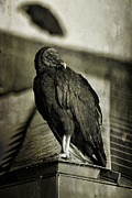 Vulture Framed Prints - Vulture Framed Print by Cindi Ressler