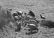 Travel - Tanzania - Vultures Take Over Carcass by Darcy Michaelchuk