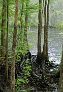 Waccamaw River Prints - Waccamaw View II Print by Suzanne Gaff
