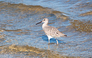 Sandpiper Acrylic Prints - Wader Acrylic Print by Kenneth Albin