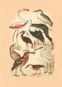 Birds - Waders by Eric Kempson