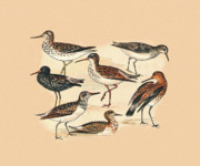 Birds - Waders Three by Eric Kempson