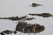 Wading Bird Prints - Wading Bird Print by Douglas Barnard