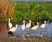 Wading Ibises Print by Al Powell Photography USA