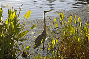 Florida Wildlife Photography Posters - Wading in Poster by David Lee Thompson