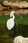 Peaceful Pond Posters - Wading Spoonbill Poster by Nila Newsom