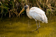 Christopher Holmes Prints - Wading Wood Stork Print by Christopher Holmes