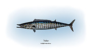 Game Fish Drawings Framed Prints - Wahoo Framed Print by Ralph Martens
