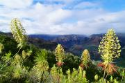 Waimea Valley Posters - Waimea Canyon Iliau Plant Poster by Greg Vaughn - Printscapes