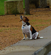 Beagle Photos - Waiting by Angela Wright