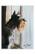 Giant Schnauzer Framed Prints - Waiting at the Window Framed Print by Maxine Bochnia